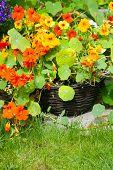 pic of nasturtium  - Blooming nasturtium in the garden close up - JPG