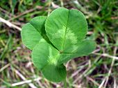 stock photo of four leaf clover  - a four leafed clover - JPG