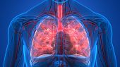 3d Illustration Of Human Respiratory System Lungs Anatomy poster