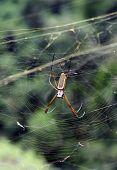 Постер, плакат: Эквадорская паук