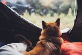 Tourist Sleeping Resting Dog In Campsite Forest, Close Up Tourist Red Shiba Inu Leisure In Camp Tent poster