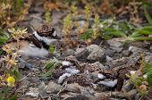 picture of killdeer  - Newly hatched killdeer chick in nest with eggs - JPG