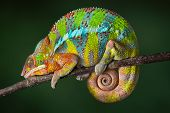 foto of panther  - A ambilobe panther chameleon is sleeping on a branch - JPG