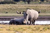 Mother With Baby Of White Rhinoceros Khama Rhino Sanctuary Reservation, Endangered Species Of Rhino, poster