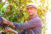 Winemaker Man In Straw Hat Examining Grapes During Vintage. Traditional Winery Culture And Winemaker poster