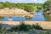 Hippos (hippopotamus Amphibius) On The Banks Of A Small River Of The Komati River System, One Of The poster