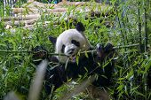 Hungry Giant Panda Bear Eating Green Bamboo poster