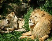 Постер, плакат: Лев и львица на открытом воздухе в лучах солнца