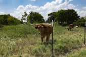 A Large Brown Longhorn Bull With Curved, Sharp Horns Standing In A Ranch Pasture Overgrown With Weed poster