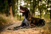 Purebred Brown Dog Lying On The Dry Grass In The Autumn Forest poster