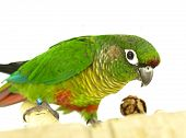 Conure, Green Cheeked Yellow Sided, Pyrrhura molinae
