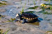 foto of terrapin turtle  - A curious Diamondback Terrapin on a sandy patch in a salt marsh - JPG