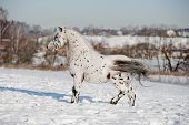 image of appaloosa  - appaloosa pony runs free through the winter field - JPG