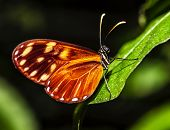 Picture of orange-spotted Tiger Clearwing butterfly, Mechanitis polymnia, Costa Rica wild nature, be