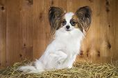 stock photo of epagneul  - Papillon dog sitting on a straw on a background of wooden boards - JPG