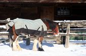 stock photo of clydesdale  - a clydesdale horse wearing a blanket - JPG