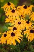 Yellow Echinacea Flowers