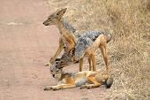 Family Of Black-backed Jackals