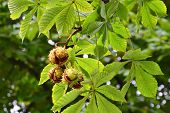 Horse-chestnuts On Tree Branch