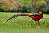 foto of pheasant  - Golden Pheasant  - JPG