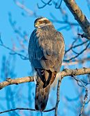 picture of goshawk  - The Goshawk appeared to be warming itself in the early morning sun - JPG