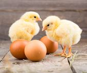 beautiful little chicken and eggs