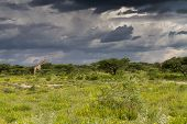Two Giraffe Under A Thundercloud