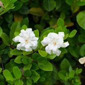picture of gardenia  - White gardenia jasminoides blooming in garden - JPG