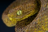 image of tree snake  - The Leaf viper is a rarely encountered tree snake species found in Cameroon - JPG