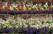 pic of begonias  - Terraced flowerbeds with Snapdragon petunias begonias and geraniums - JPG