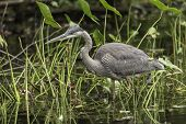 stock photo of bluegill  - A Great Blue Heron fishing for some food