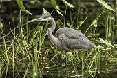 foto of bluegill  - A Great Blue Heron fishing for some food