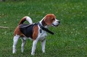 picture of foxhound  - young beagle dog standing on the grass - JPG