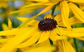 stock photo of black-eyed susans  - Bright yellow rudbeckia or Black Eyed Susan flowers in the garden in summer time - JPG