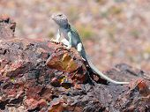 foto of petrified  - Lizard resting on fossils at Petrified Forest - JPG