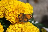 stock photo of gatekeeper  - A Gatekeeper butterfly sits on an orange marigold feeding off the nectar - JPG