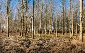 stock photo of sunny season  - Thin bare trees in a sunny forest on a sunny day in the winter season - JPG