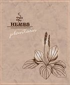 stock photo of plantain  - Vintage background with plantain on old paper - JPG