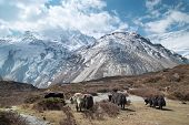 stock photo of yaks  - Tibetan landscape with yaks and snow - JPG