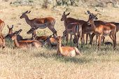 picture of antelope horn  - The group of antelopes on the grass - JPG