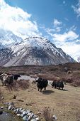 foto of yaks  - Tibetan landscape with yaks and snow - JPG