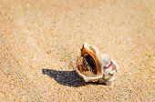 pic of whelk  - Image Of The Veined Rapa Whelk On The Sand - JPG