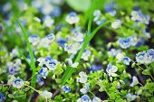 foto of forget me not  - Forget-me-not tender  flowers blossoming in spring time ** Note: Soft Focus at 100%, best at smaller sizes - JPG