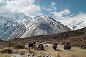 picture of yaks  - Tibetan landscape with yaks and snow - JPG