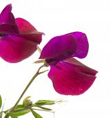 pic of sweet pea  - Sweet pea - JPG