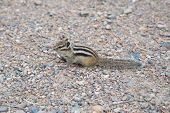 picture of chipmunks  - Chipmunk In Landscape Park Stolby, Near Krasnoyarsk, Russia
