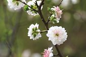 image of dwarf  - Dwarf Flowering Cherry - JPG