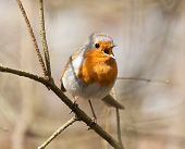 image of hade  - Singing european robin on the spring branch - JPG