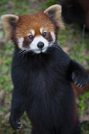 pic of panda  - The red panda Ailurus fulgens also known as Lesser Panda and Red Cat-Bear is a small arboreal mammal native to the eastern Himalayas and south-western China.  The red panda is endemic to the temperate forests of the Himalayas and ranges from the foothil - JPG