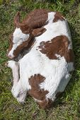 stock photo of calf  - red and white calf lies in grass seen from above - JPG